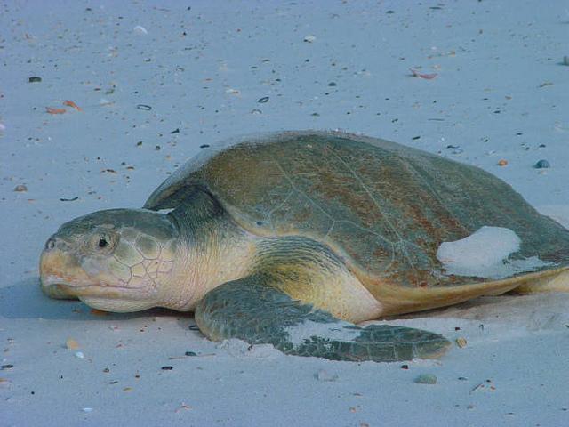La tortuga bastarda