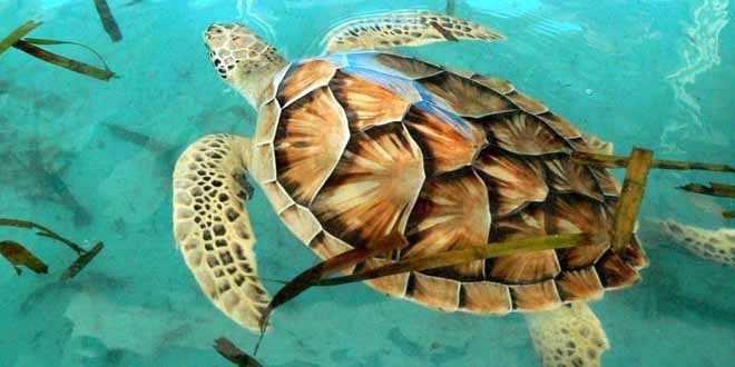 La tortuga carey