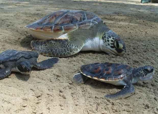 La tortuga golfina