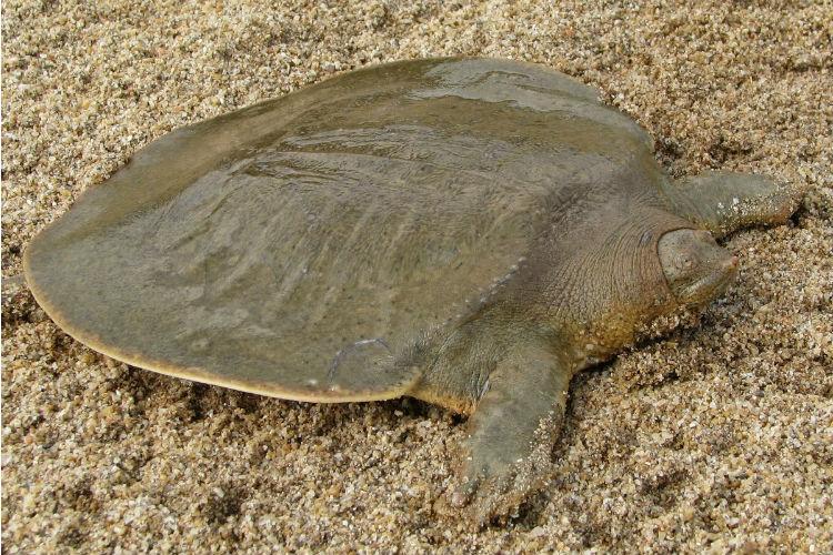 La tortuga plana