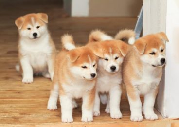 Las más famosas razas de perros japoneses