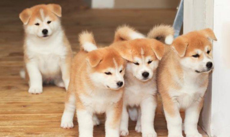 Las Más Famosas Razas De Perros Japoneses Descúbrelos Wakyma