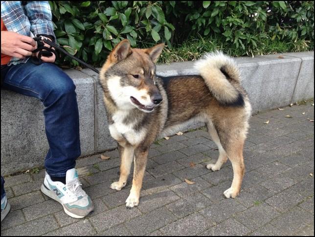Las más famosas razas de perros japoneses Shikoku inu