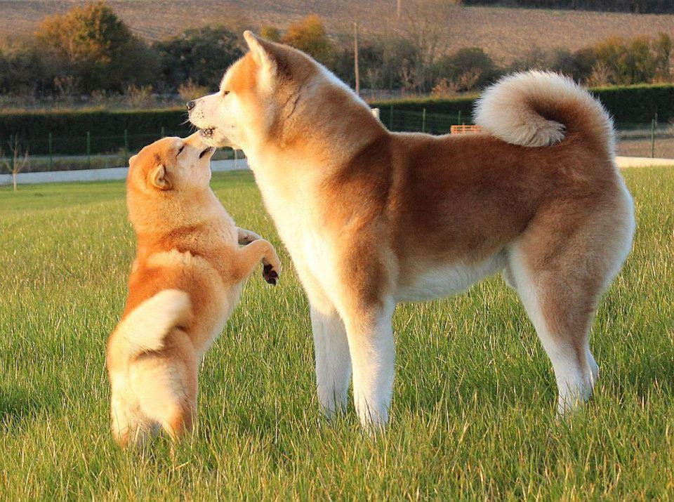 Las más famosas razas de perros japoneses akita inu