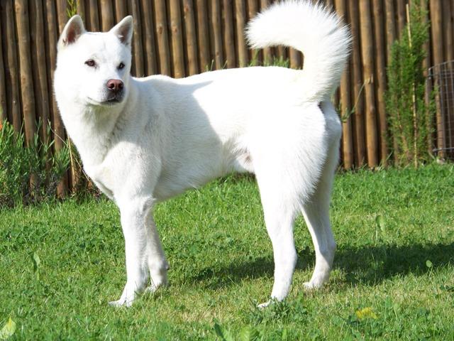 Las más famosas razas de perros japoneses kishu inu