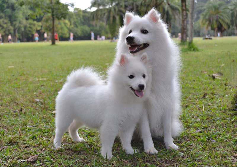 Las más famosas razas de perros japoneses spitz japonés