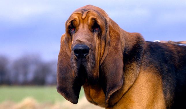 Las razas de perros más tranquilos bloodhound