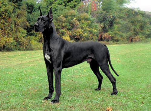 Las razas de perros más tranquilos gran danés