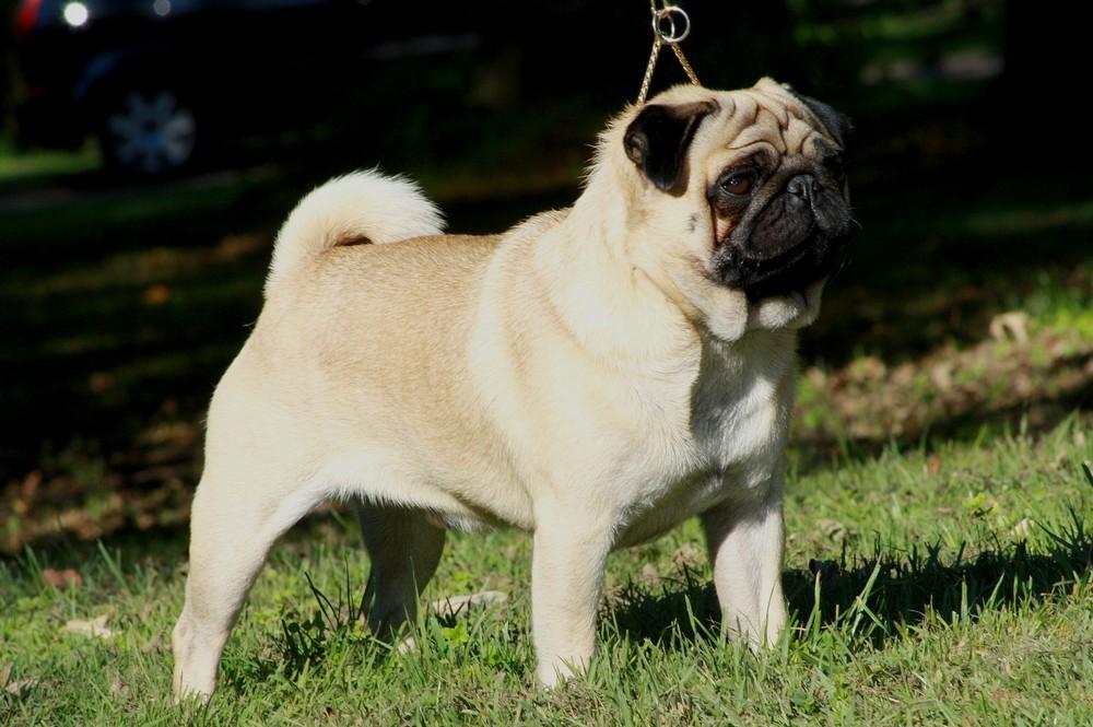 Las razas de perros más tranquilos pug o carlino