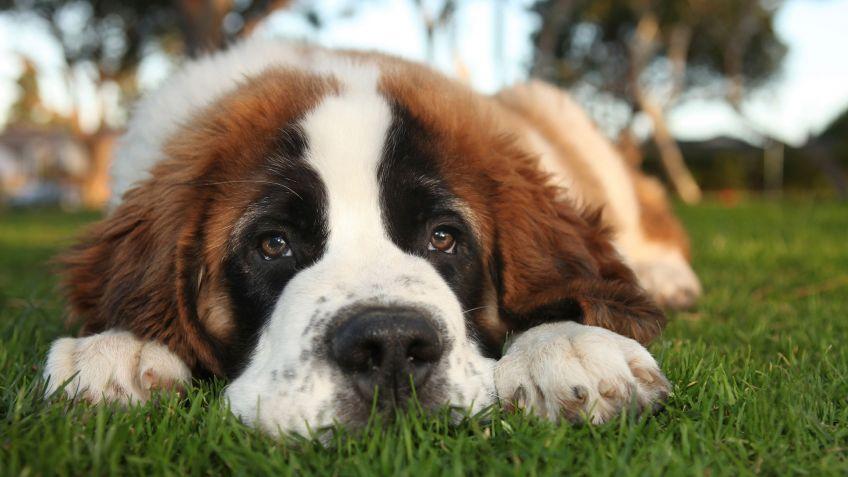 Las razas de perros más tranquilos san bernardo