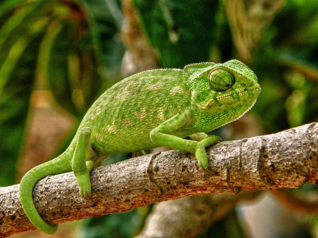 Lo más importante de tener un camaleón como mascota