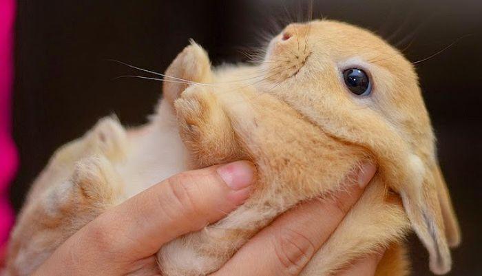 Los dientes de los conejos enanos