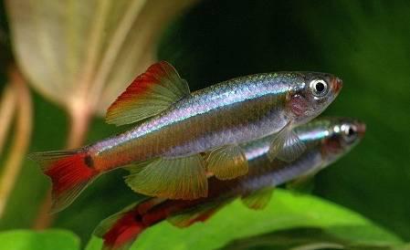 Los mejores peces para principiantes neon chino