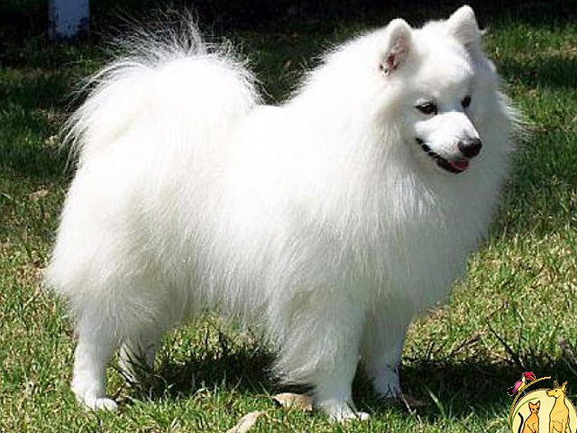 Origen del perro spitz japonés