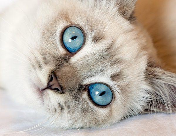 ácaros en gatos