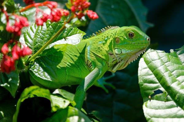 Qué alimentos NO debes dar a tu iguana