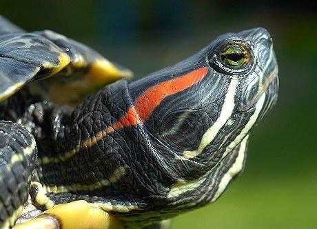Qué comen las tortugas acuáticas