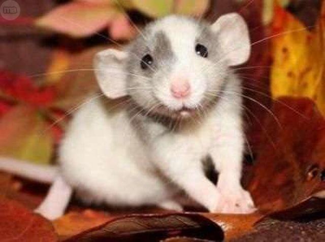 Qué debe comer una rata doméstica