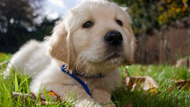 Qué es la torsión gástrica en perros