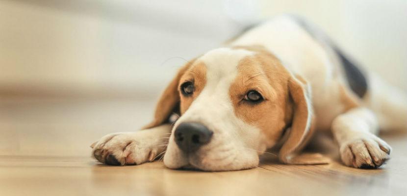Qué hacer ante un caso de convulsiones en perros