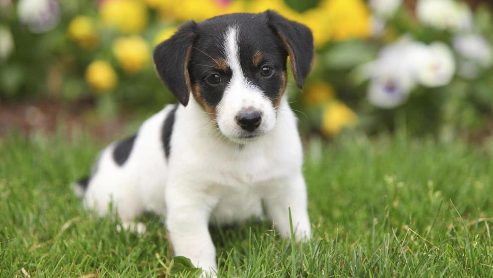 Remedios caseros para el resfriado en perros