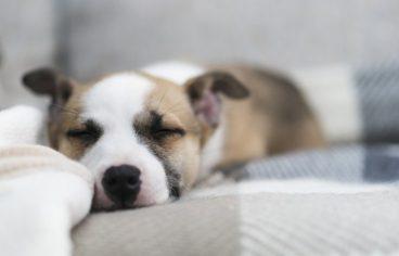 Síndrome de Shaker en perros
