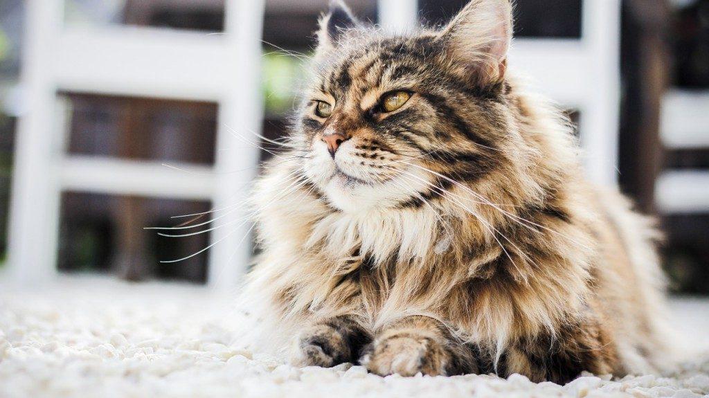 Síntomas de la diarrea en gatos