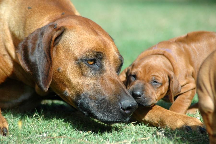 Síntomas del parvovirus en perros