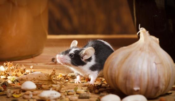 Salud de las ratas
