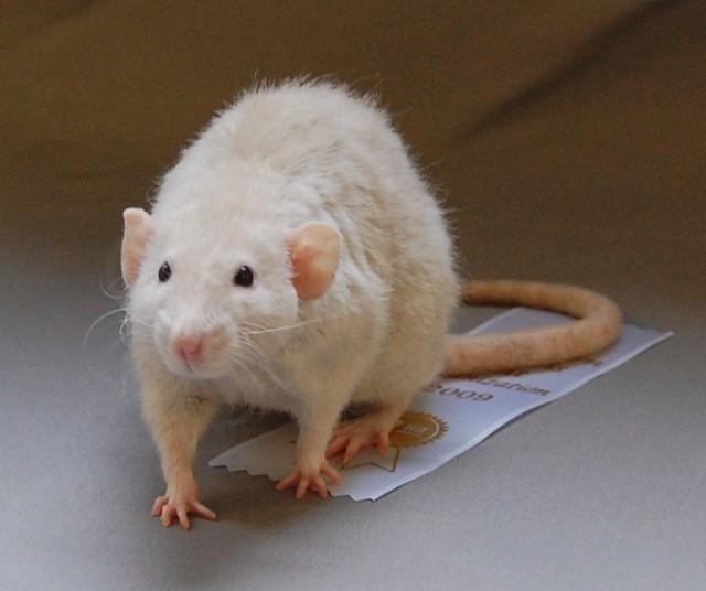 Si tengo una rata como mascota