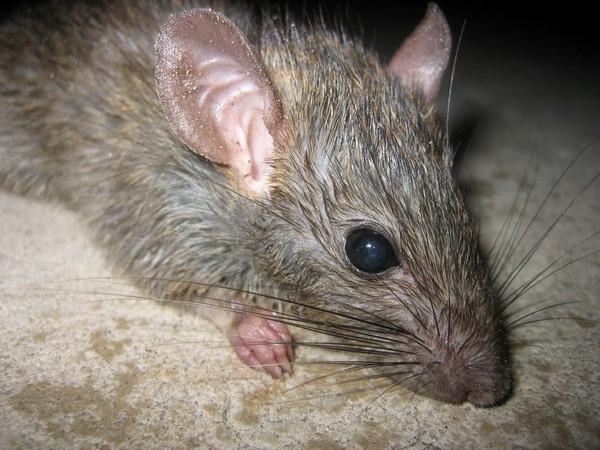 Socialización y apareamiento de las ratas