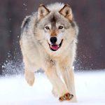 Te lo contamos todo sobre la alimentación de los lobos