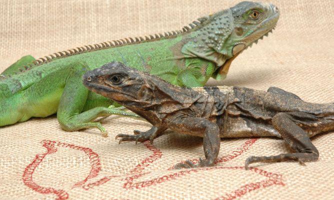 Tengo una iguana como mascota