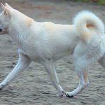 Todo sobre la raza de perro japonesa kishu inu
