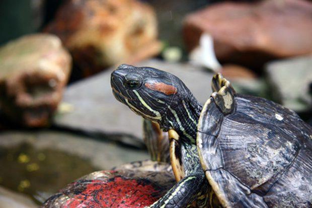 Tortugas acuáticas como mascotas