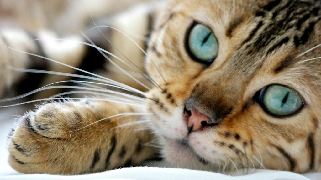 Tratamiento de la depresión en gatos