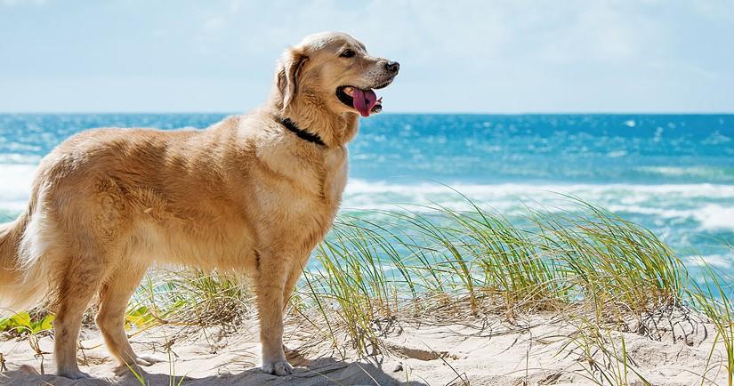 Tratamiento del síndrome de Shaker en perros