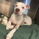 pitbull adoptado por su veterinaria