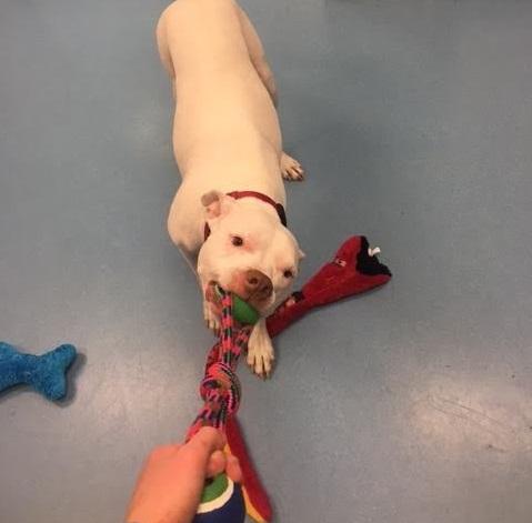 Un pitbull que sufrió un grave accidente es adoptado por su veterinaria