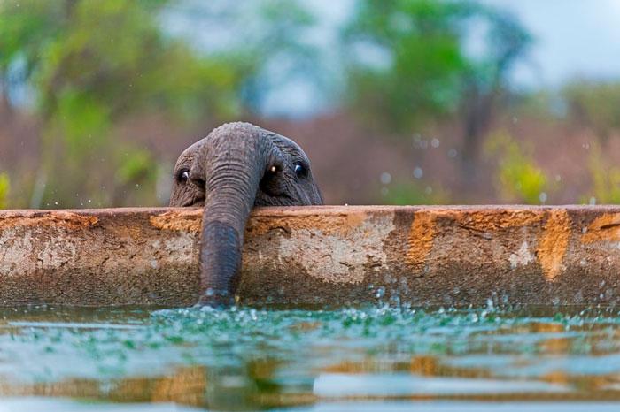 bebe elefante bebiendo agua