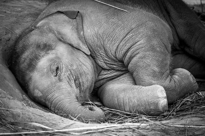 bebe elefante durmiendo