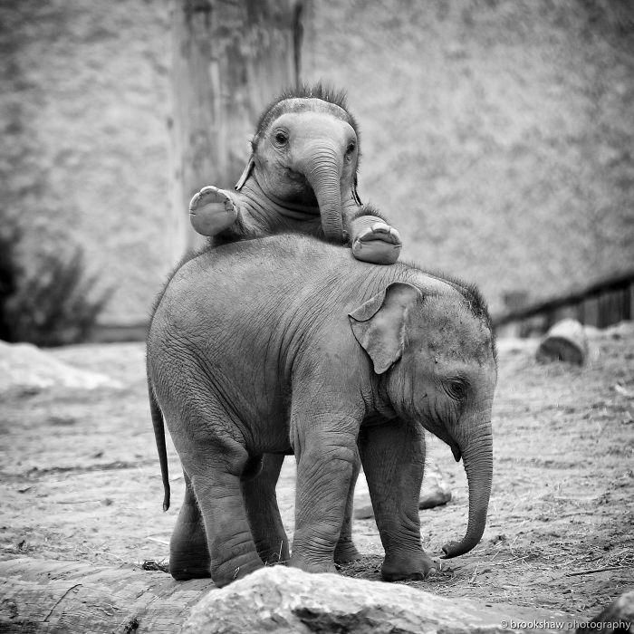 bebe elefante pelo pincho