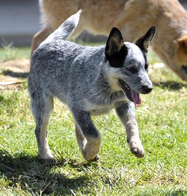 Temperamento del cattle dog australiano