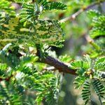 camaleon camuflado