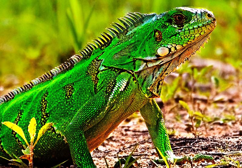 el alimento para iguanas verdes