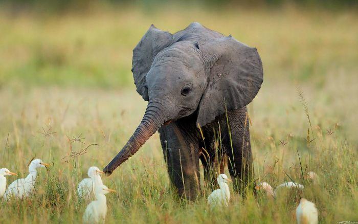 elefante bebe con patos
