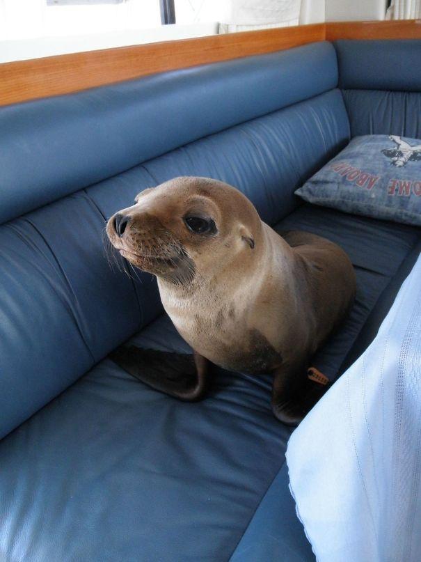 foca en el sofa