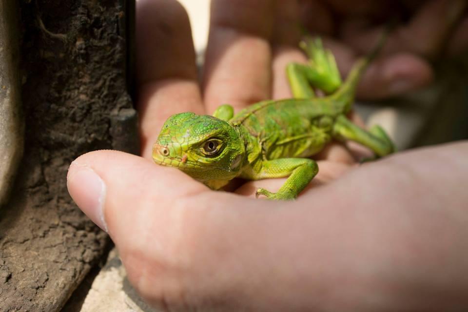 la mejor alimentación para las iguanas bebé