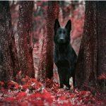 mejores razas de perros guardianes