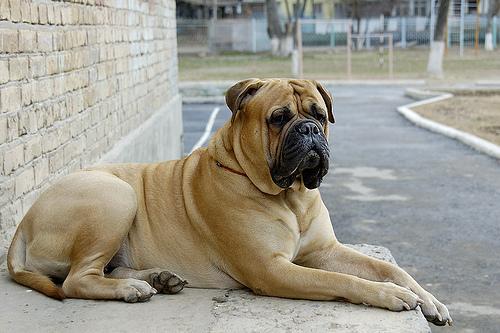 mejores razas de perros guardianes bullmastiff